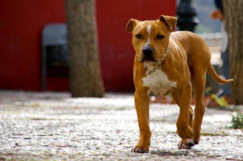 Pitbulls family dogs