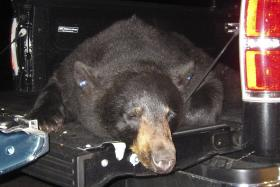 This Monday, June 11, 2012 photo, released by the Massachusetts Executive Office of Energy and Environmental Affairs, shows a tranquilized black bear captured by officials in Wellfleet, Mass., on CapeCod. The bear, which officials think swam across the Ca