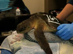 A turtle approximately 2 years old awaits examination by New England Aquarium staff.
