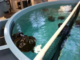 A pool of sea turtles recovering in warmer water.