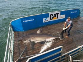 Ocearch fishing master Brett McBride on the shark lift with Betsy, a 1,400 lbs great white caught on Aug. 15 off the coast of Cape Cod.