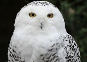 Snowy owl outrage- New York airports take a cue from Logan on a snowy owl solution.