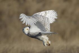 A snowy owl, spotted on January 11th. The snowy is a fixture of New England winters, and often resides at Logan Airport to feast on a plentiful supply of rodents.