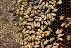 Boston has embraced bee keeping in a really positive way, city hall has just approved Article 89 for urban agriculture and urban bee keeping is a big part of that.