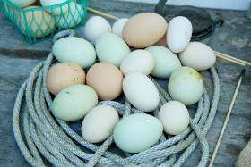 Smyth's chickens produce about three dozens eggs each week