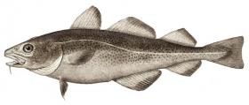Atlantic cod (Gadus morhua). Altered and prepared plate from the NOAA Photo Library