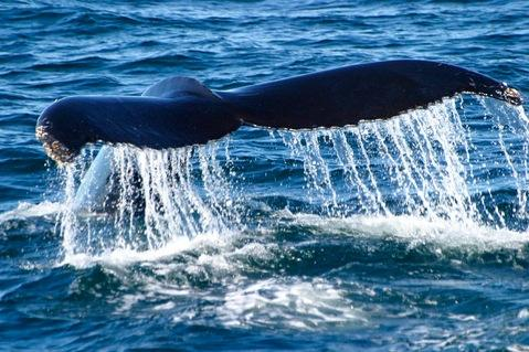 Humpback whales are just one of several endangered whale species that frequent Stellwagen Bank.