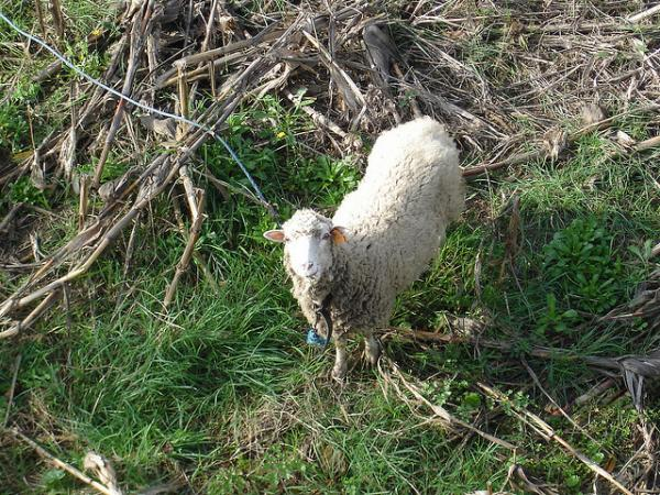 Full disclosure: this sheep is not Dolly.