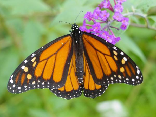 A monarch butterfly at the Boston Nature Center