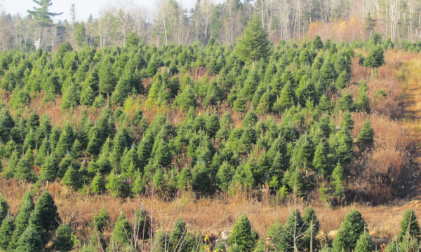 Mahoney's Christmas tree farm in Nova Scotia.