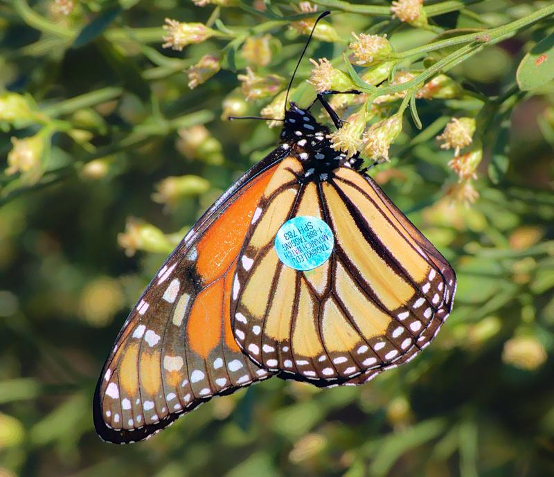 A Monarch butterfly is shown on flower with blue tracking tag on wing in St. Marks, Fla., in 2017
