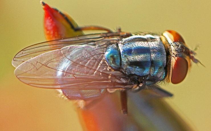 Florida to Release Sterile Screwworm Flies in Homestead Area