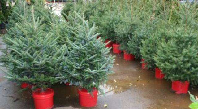Potted Christmas trees begin a life of purpose during the holidays ...