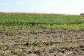 The weed patch in the foreground has been seeded with a mix of warm season grasses and forbs and Watkins expects it to grow into prairie and crowd-out the weeds in about three years.