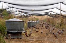 Pheasants perch on feeders and hide in the ground cover at Double Barrel Game Farm.
