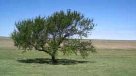 Lone tree stands on the plains near Johnson, Kansas