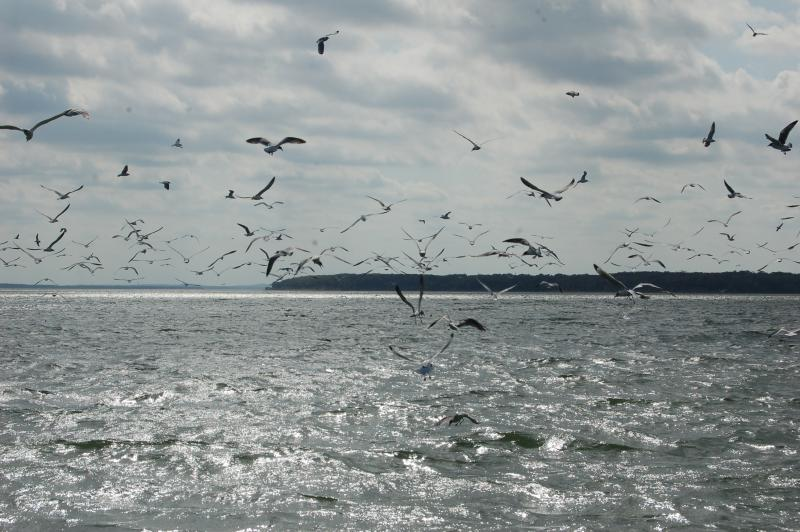 Gulls Swarm to Feed on Shad