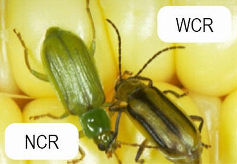 Western Corn Rootworm (WCR) and Northern Corn Rootworm (NCR)