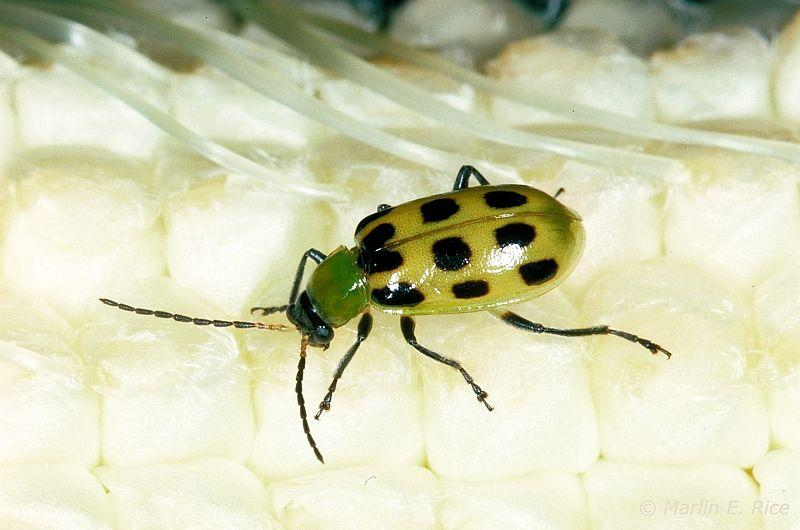 Southern Corn Rootworm also called spotted cucumber beetle