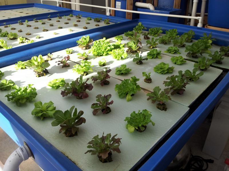 Floating lettuce