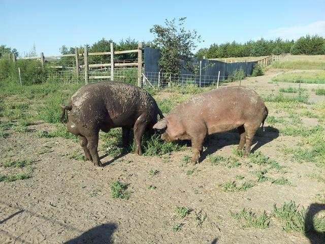 Boar and sow at Full Circl Aquaponics