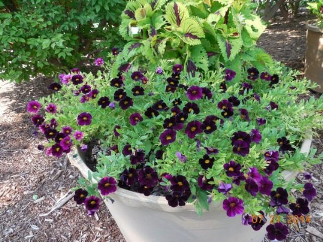Calibrachoa 'Can Can Deep Purple' on container trial