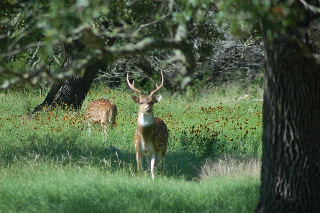 Axis deer in Texas Hill Country