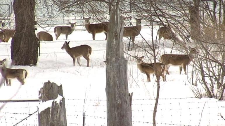 A deer herd in Streeter, North Dakota