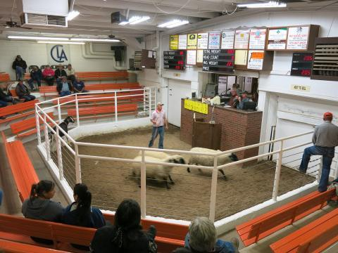 Brokers bid on lamb at the Centennial Livestock Auction in Fort Collins, Colo.