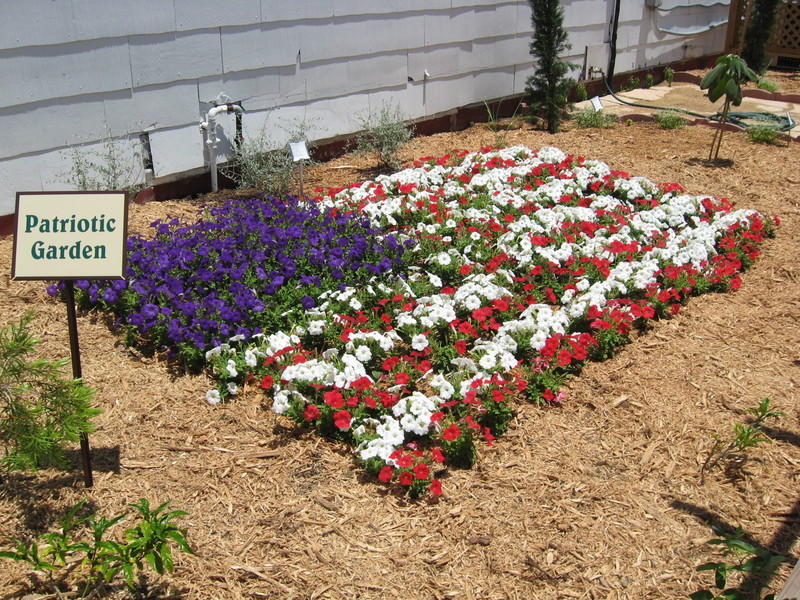 Celebrating the red white and blue with petunias hppr mightylinksfo