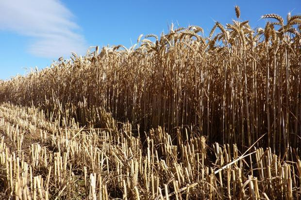 Wheat market saturation continues on the High Plains