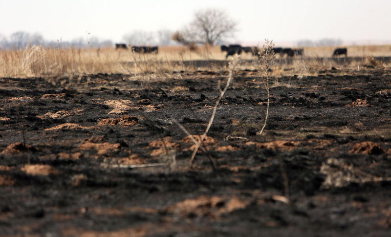 Cattle graze near scorched land at Gardiner Angus Ranch in Ashland on Thursday, March 9, 2017. The March 6 wildfires passed right through the ranch.
