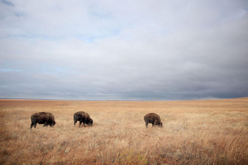 Three young bison graze just outside the pen after being released onto the Tallgrass Prairie National Preserve Friday, Oct. 30, 2009, near Strong City, Kan. The bison were reintroduced to the preserve for the first time in over 140 years with the release.