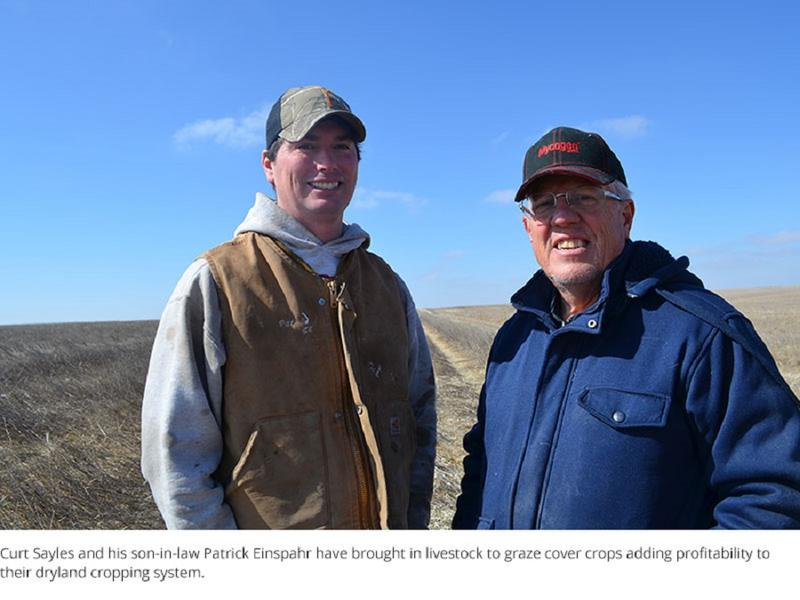 Curt Sayles and his son-in-law Patrick Einspahr have brought in livestock to graze cover crops adding profitability to their dryland cropping system.