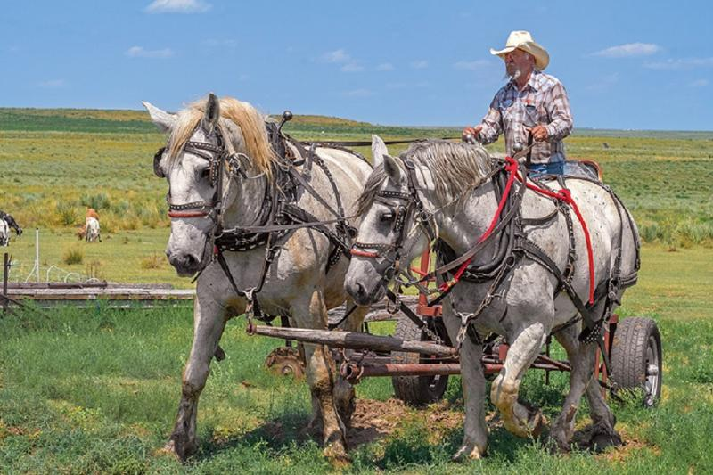 	Draft horses Bob and Ben pull rancher Tom Alton's wagon on his family's multigenerational ranch near Colorado's southeast corner.