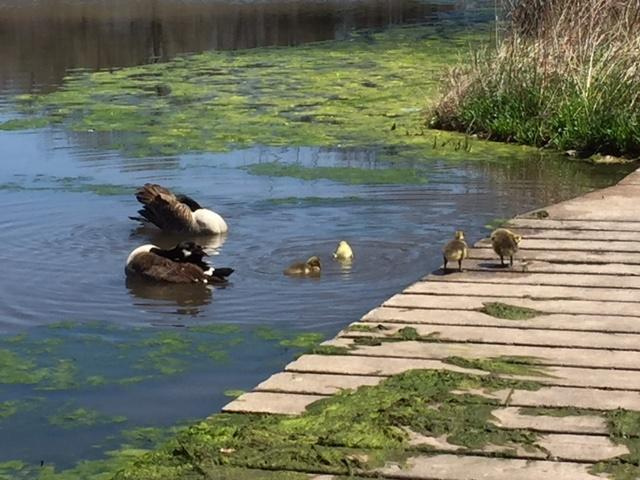 Adorable ducklings enjoying the pond.