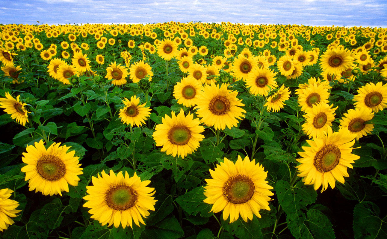 Genetic Advances Hold New Promise For Sunflowers Profitable Future
