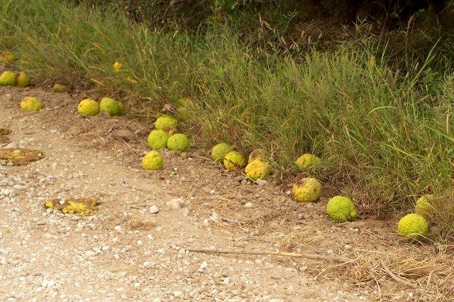 how to use hedge apples for pest control