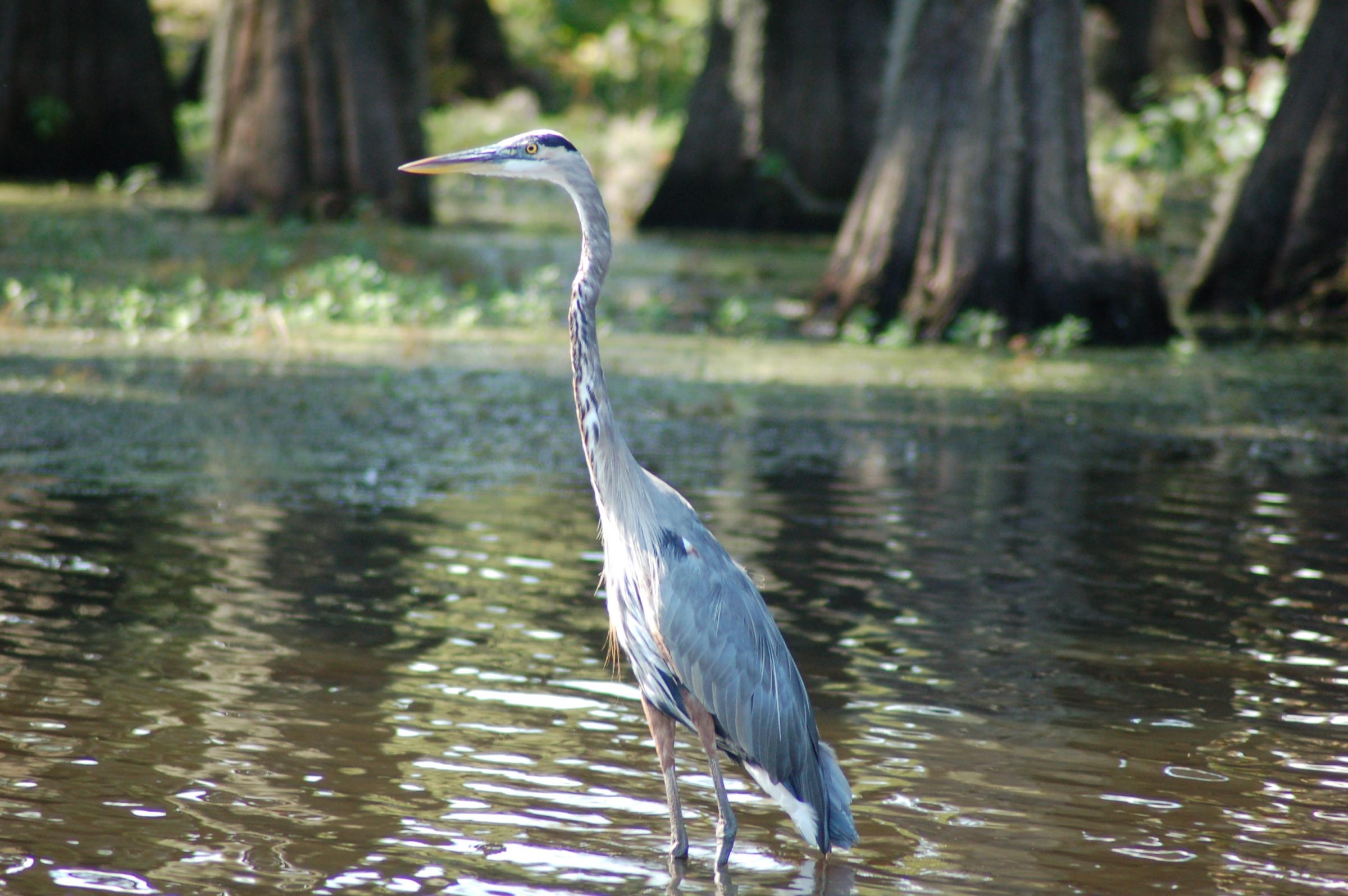 Fishing on caddo lake is one for your bucket list hppr for Caddo lake fishing