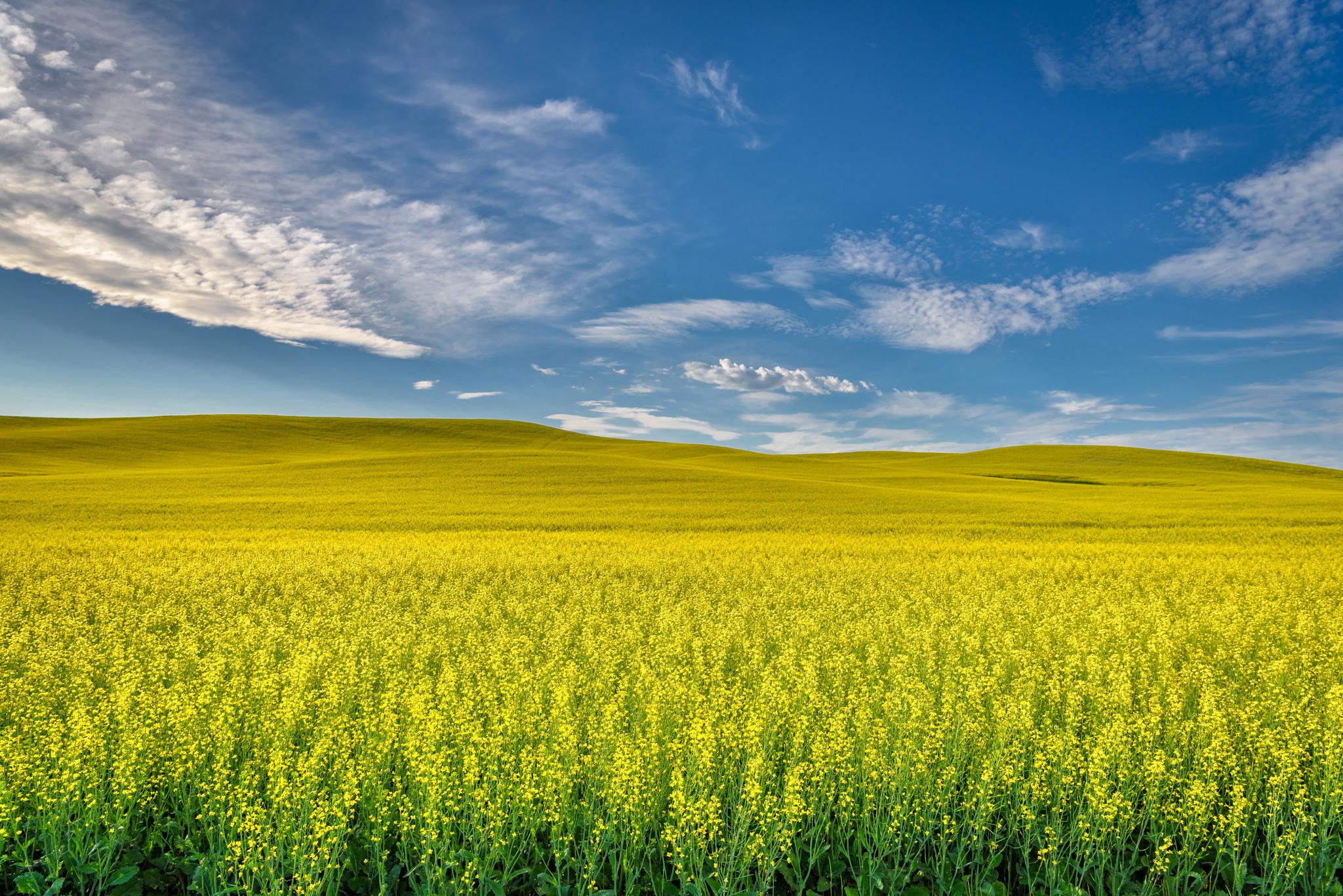 Idaho Farmers Eye Growing Canola Crop In 2018 Boise State Public Radio
