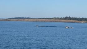 We encounter several pods of orcas near Lopez Island.