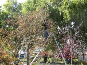Volunteers string lights in the trees.