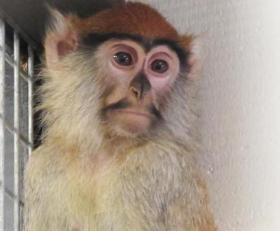 One of two patas monkeys brought to Zoo Boise in December. They remain quarantine.