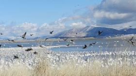 Migratory waterfowl in the Lower Klamath Wildlife Refuge.