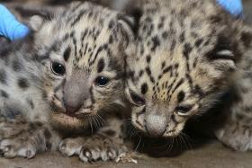 Baby Snow Leopards at Zoo Boise