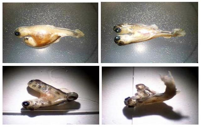 A study commissioned by the J.R. Simplot Company on selenium contamination in creeks in southeast Idaho includes photos of deformed Yellowstone cutthroat trout (top) and brown trout (bottom
