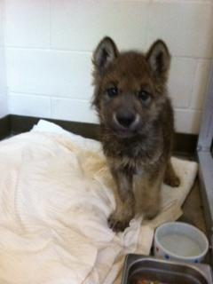 Possible wolf pup at Zoo Boise