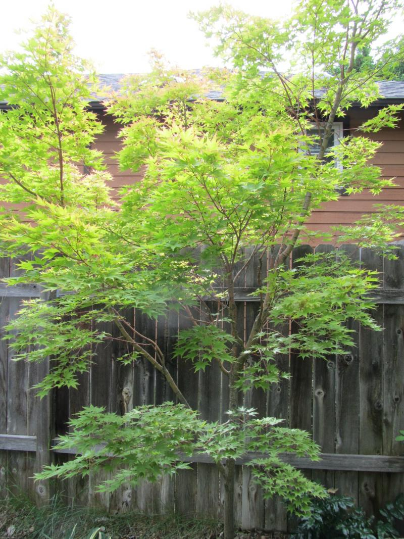Japanese Maples are hidden all around Craig Lang's garden
