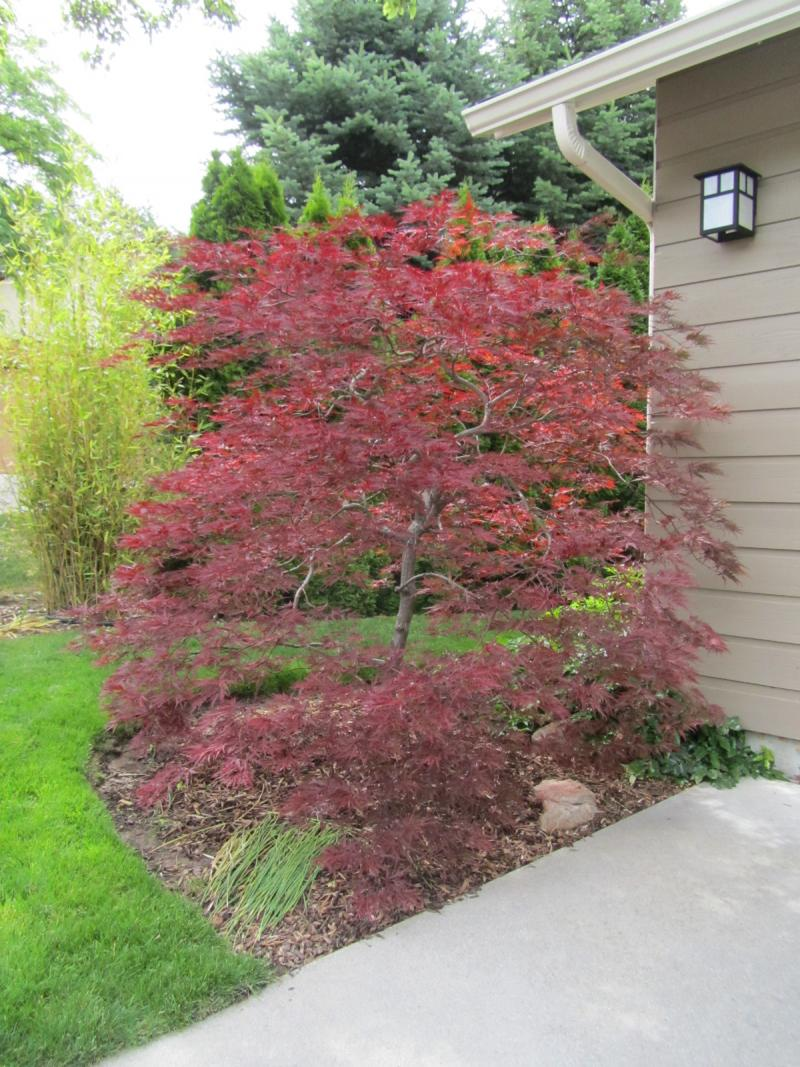 Craig Lang has a passion for Japanese Maples