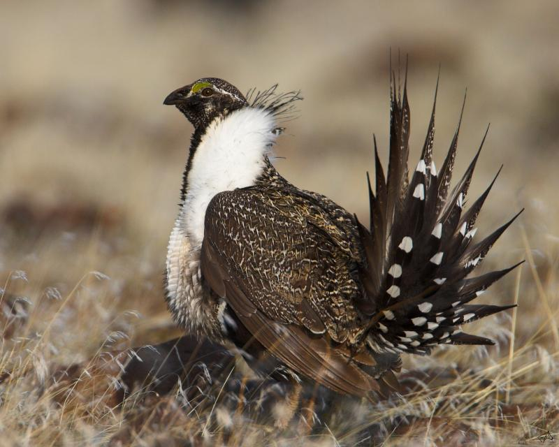 Sage Grouse fly from fires, but often return too soon, before the land has a chance to heal.